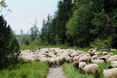 Sheep cross a hiking trail — Stock Photo