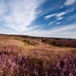 Stock Photo: Heather hills in Gelderland
