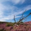 Stock Photo: Old dry tree in heather