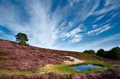砂丘や牧草地開花カルナ尋常性 — ストック写真