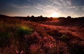 Sunset on pnik flowering meadows with Calluna vulgaris — Stock Photo
