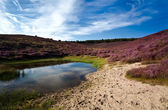 Wild pond and sandy dunes covered with flowering heather — Stock Photo