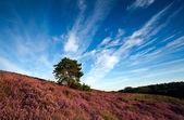 Cielo y floración heather hill — Foto de Stock