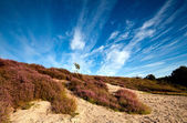 Sandy dunes and pink heather — Stock Photo