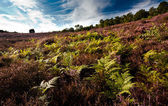 Fern and heather — Stock Photo