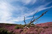 Vecchio albero secco in heather — Foto Stock