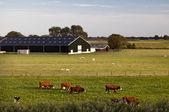 Charming Dutch cattle farm — Zdjęcie stockowe