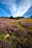 Many flowering heather — Stock Photo