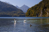 Cisnes brancos selvagens no alpensee — Fotografia Stock