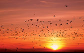 Silhouettes of flying birds over sunset — Stock Photo