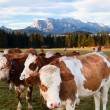 Stock Photo: Milk cows in BavariAlps
