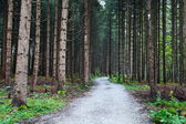 Old coniferous forest — Stock Photo