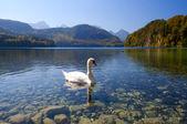 Cisne branco na alpsee — Fotografia Stock