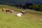 Few alpine cows on pasture — Stok fotoğraf
