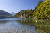 White swans on Alpsee in Bavarian Alps — Stock Photo