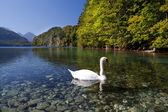 White swan on lake Walchensee — Foto Stock