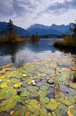 Water lily on Barmsee — Stock Photo