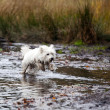 West Highland White Terrier running in water — Stock Photo #16902313