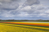 Champs de tulipes dans les pays-bas du nord — Photo