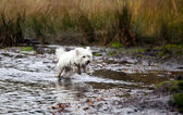 West Highland White Terrier running in water — Zdjęcie stockowe