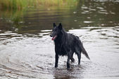 Belgian Sheepdog (Chien de Berger Belge, Belgian Shepherd) — Stock Photo