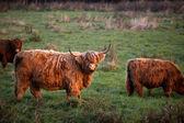 All'aperto di bovini highland — Foto Stock