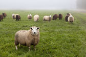 Dutch sheep on pasture — Stock Photo