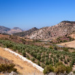 Fields with olive trees in Spain — Stock Photo #18408129