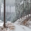 Snowstorm in old forest — Stock Photo