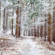Frozen pine trees in forest — Foto Stock