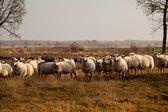 Sheep herd in Dwingelderveld — Stock Photo