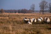 Sheep in savanna — Stock Photo