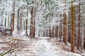 Frozen pine trees in forest — Stock Photo