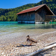 Stock Photo: Duck by fishermhut on Walchensee