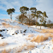 Stock Photo: Pines on snowy hill