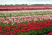 Rows of colorful tulips in Netherlands — Stock Photo