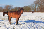 Old horse on winter pasture — Stock Photo