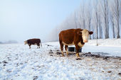 Brown cows on snow in winter — Stock Photo