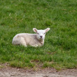 Little lamb on grass outdoors — Stock Photo