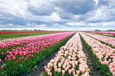 Dutch tulip fields in spring — Stock Photo