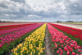 Many colorful tulips on fields — Stock Photo