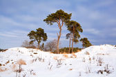 Pinheiros na paisagem de inverno ensolarado — Foto Stock
