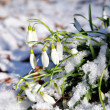 Snowdrops flowers in snow at early spring — Stock Photo #27882587