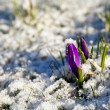 Crocus flower in snow during early spring — Stock Photo