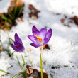Purple crocus flowering in snow — Stock Photo