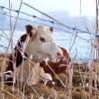 Stock Photo: Cow in winter outdoors