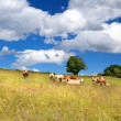 Stock Photo: Few alpine cows on summer pastoral