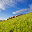 Sheep herd on summer pasture with many flowers — Stock Photo