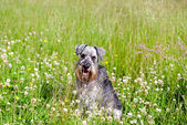 Miniature schnauzer on field — Stock Photo
