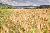 Wheat field in mountains — Stock Photo